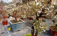 Mai trắng quý gây sốc với giá trăm triệu tại chợ hoa Tết đất cố đô