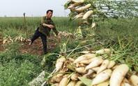 Hiện tượng nông dân nhổ bỏ su hào, củ cải chỉ là số ít