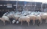 Mới đầu mùa hạn, cừu Ninh Thuận đã chết hàng loạt