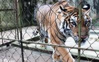 Cầu cứu 2 bộ xử lý 11 cá thể hổ nuôi nhốt trong khu dân cư