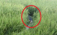 Kéo điện bẫy chuột phá lúa không ngờ chết thảm