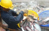 Giá cá tra bất ngờ giảm