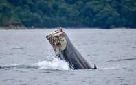 Rùng mình cảnh cá voi cụt đuôi bơi dưới biển