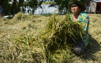 Hàng chục ngàn ha lúa vùng Tứ giác Long Xuyên bị nước lũ uy hiếp