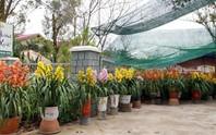 Địa lan, hoa đào Đà Lạt hút hàng