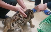 Cận cảnh 2 con hổ con bị vứt lại bên quốc lộ
