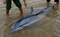 Sau đàn cá heo 100 con xuất hiện, 1 chú cá heo lại dạt vào biển Cửa Đại