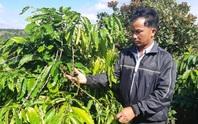 Phát hoảng khi ra thăm rẫy thấy gần 600 cây cà phê bị tuốt sạch