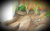Sẽ tịch thu 2 rắn hổ mây khủng nuôi nhốt trái phép tại Khu Du lịch Đồi Tức Dụp