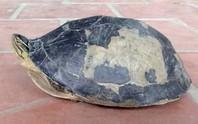 Hết rắn và trăn khủng, người dân An Giang lại phát hiện rùa lạ hiếm