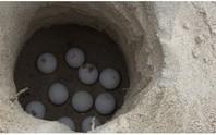Ấp nở hơn 1.900 trứng rùa tại Cù Lao Chàm