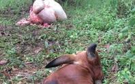 Nhức nhối nạn trộm bò xẻ thịt tại đồng