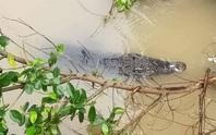 Bị phạt 350 triệu đồng, hộ để cá sấu sổng chuồng định... làm liều!