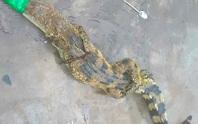 Cá sấu lại sổng chuồng, bò vào bãi xe khách ở miền Tây