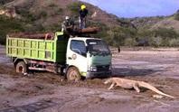 Indonesia dậy sóng vì rồng Komodo chặn đầu xe tải