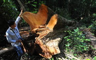 Nhóm đối tượng chặt hạ gỗ hương cổ thụ quý hiếm ra đầu thú