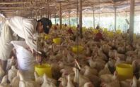 Giá gà rớt thảm hại, thấp hơn giá rau muống