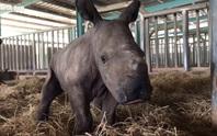 Vinpearl Safari đón tê giác thứ 3 chào đời