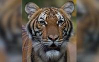 Mỹ: Hổ trong sở thú tại TP New York nhiễm Covid-19