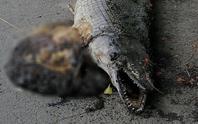 Người dân kinh hãi phát hiện xác cá sấu hỏa tiễn trong Công viên Thống Nhất