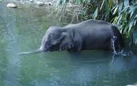 Bom mồi - vũ khí tước đi mạng sống của voi mang thai tại Ấn Độ