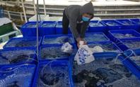 Cả ngàn tấn cá mú bí đầu ra, giá giảm một nửa vẫn khó giải cứu