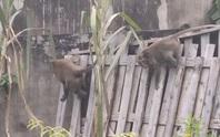Đã bắt được 2 con khỉ trong đàn khỉ đại náo khu dân cư ở quận 12