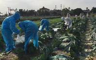 Nỗ lực giải cứu hơn 90.000 tấn nông sản Hải Dương