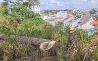 Xót xa hàng loạt cây thông trăm tuổi bị cưa hạ giữa Đà Lạt