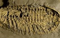Phát hiện quái vật 500 triệu tuổi thở bằng chân, phủ vàng của kẻ ngốc