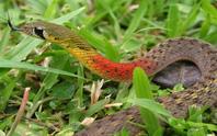 Bé gái tử vong vì rắn học trò: Nhiều người vẫn nuôi chơi