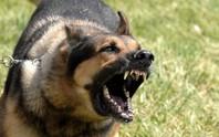 Cấm ngay việc nuôi chó dữ tại gia