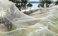 Mạng nhện khổng lồ kinh hồn ở Úc