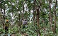 Nỗ lực khôi phục rừng trắc