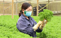 Trồng rau, quả công nghệ cao ở xứ sương mù