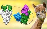 Phát hiện khắc tinh của Covid-19 ở lạc đà cừu, chống lại biến chủng Alpha, Delta