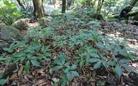 Giữ rừng để trồng sâm Ngọc Linh