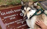 Cảm động chú chó sói thổn thức bên mộ bà ngoại chủ nhân