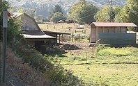 Lợn đói ăn thịt chủ trang trại
