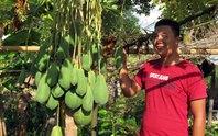 Kỳ lạ cây đu đủ đực sai trái tại Huế
