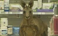 Kangaroo bị thương tự tìm đến hiệu thuốc
