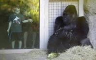 Cách ly khỉ đột đực bóp cổ, nhạo báng con cái