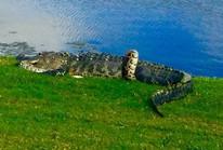 """Cận cảnh cá sấu và trăn """"quấn quýt"""" trên sân golf"""