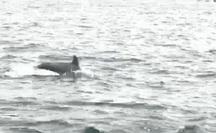 Clip: Thích thú ngắm đàn cá heo nô đùa trên vùng biển Phú Quốc
