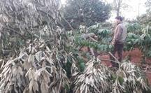 Điêu đứng phát hiện gần 60 cây sầu riêng bị chặt phá trong ngày Tết