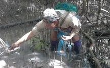 CLIP: Săn bắt loài cá biết leo cây đang dần cạn kiệt ở Cà Mau