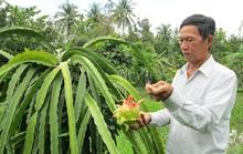 Người trồng thanh long hốt bạc