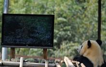 """Trung Quốc: Sở thú lắp ti vi """"giải khuây"""" cho gấu trúc cô đơn"""