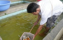 Đổ xô nuôi cá triệu đô: Coi chừng đổ nợ