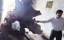 """Vụ gốc gỗ sưa ở Quảng Bình: Người phát hiện có thể """"trắng tay"""""""